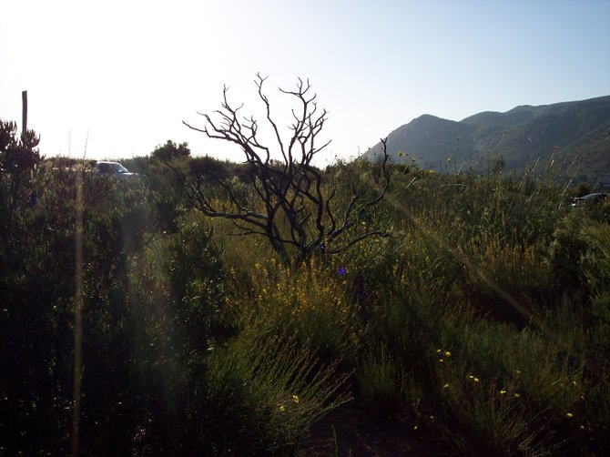 This photo was taken on the San Diego River Gorge Trail just before sunset.  The skeleton of scrub bush is a reminder of the wildfires that swept the area a few years past.