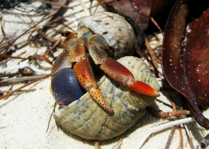 A hermit crab tries a new shell on for size at a secluded spot along the white sand beach of Little Iguana Cay on Turks & Caicos Islands