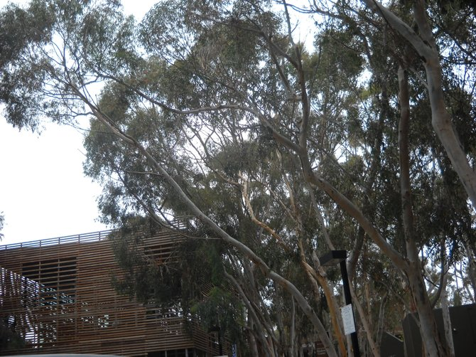 Towering UCSD eucalyptus trees offer campus shade.