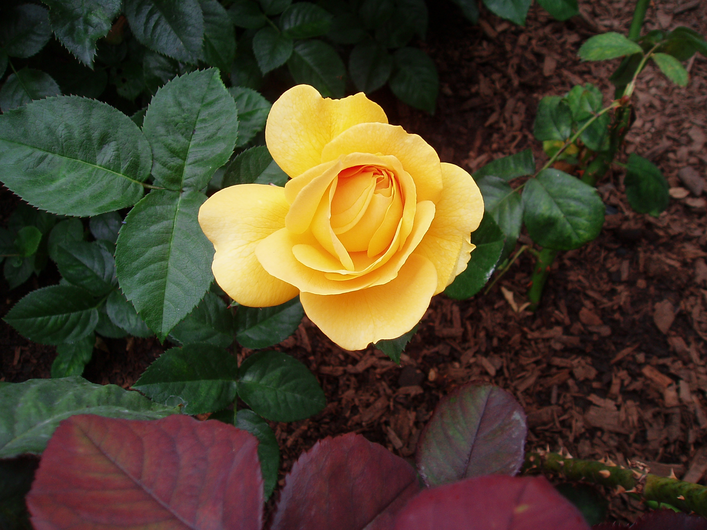 A yellow rose, one of hundreds of different types on display at the San Diego County Fair.