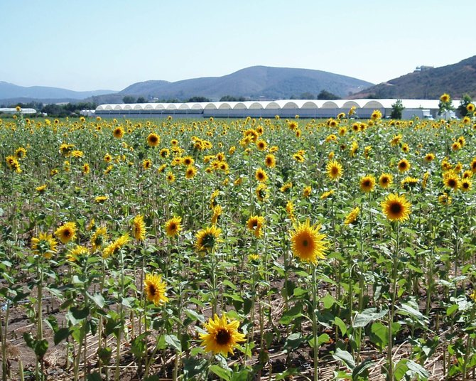 A sunflower farm in San Marcos at Deer Springs Road and Sarver Lane.