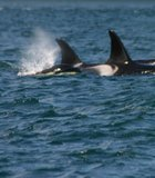 Orca family on the move. Vancouver Island, British Columbia