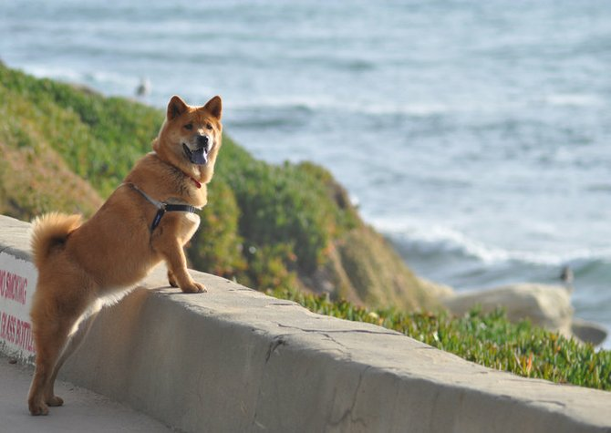 This is Hayley a 8 month old chow chow and shiba inu mix. She is enjoying the beach at La Jolla Cove.