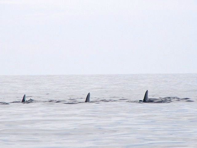 Pod of whales pass our boat on foggy morning.