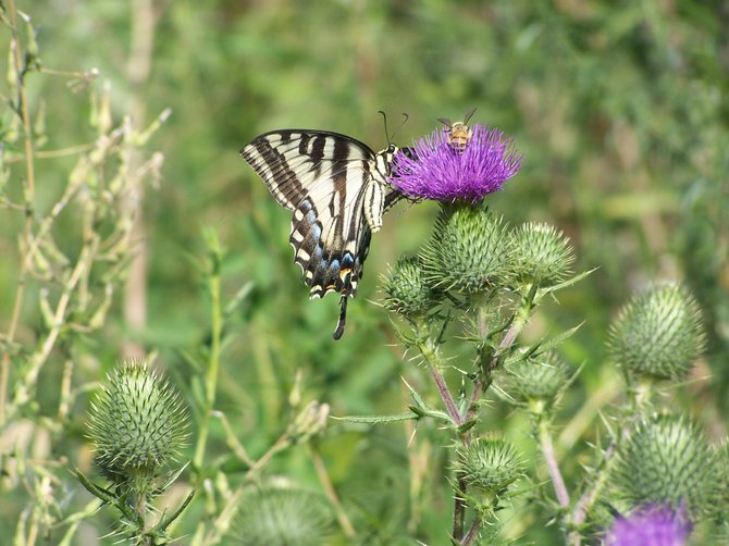 Sharing a sip of Thistle nectar in lake Morena.
