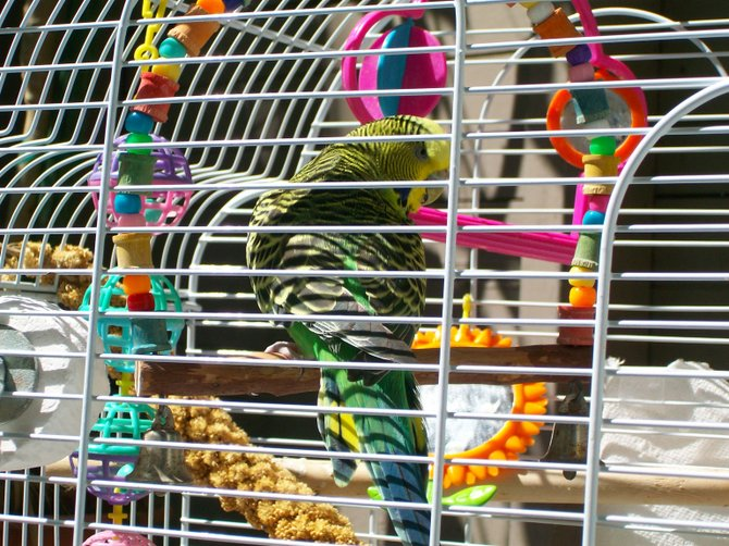 Bridget the bird enjoys her colorful cage in the Midway District.