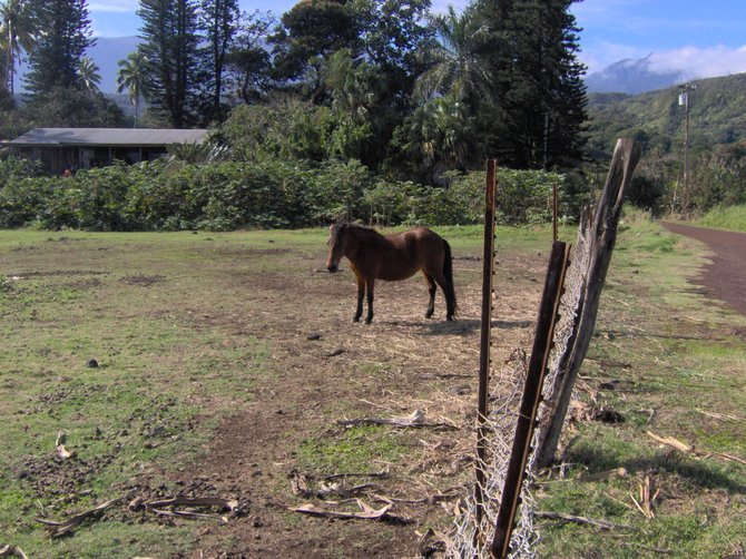 Along the way to Hana, found this charming horse eyeing our tour group.