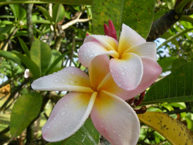 Plumerias in Hawaii.