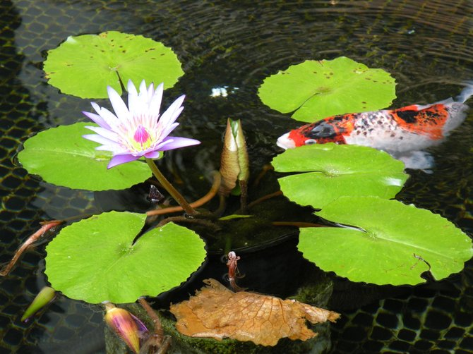 Lotus and koi fish in Hawaii