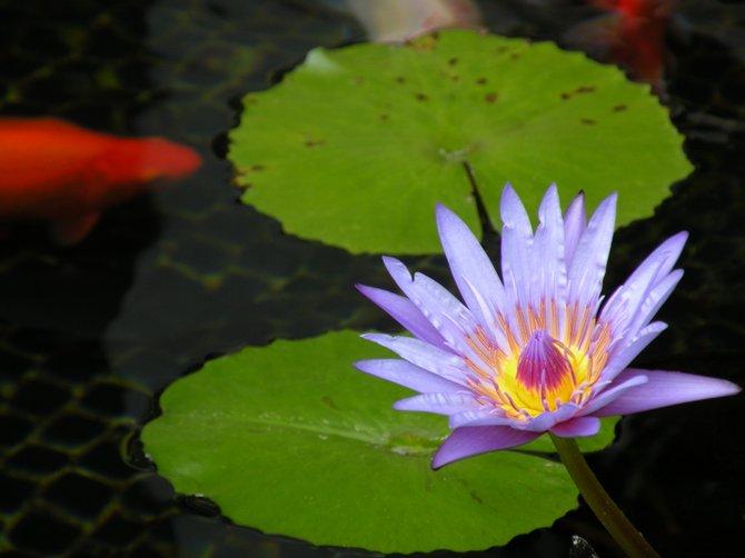 Lotus in Hawaii