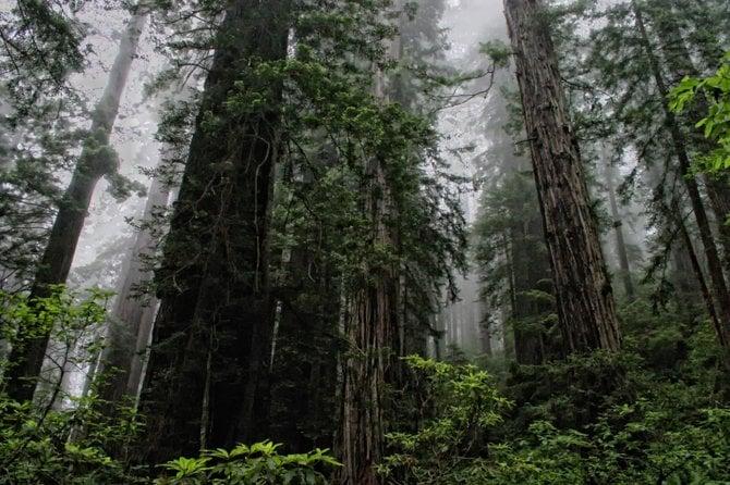 Coastal redwoods in Redwood National Park.
