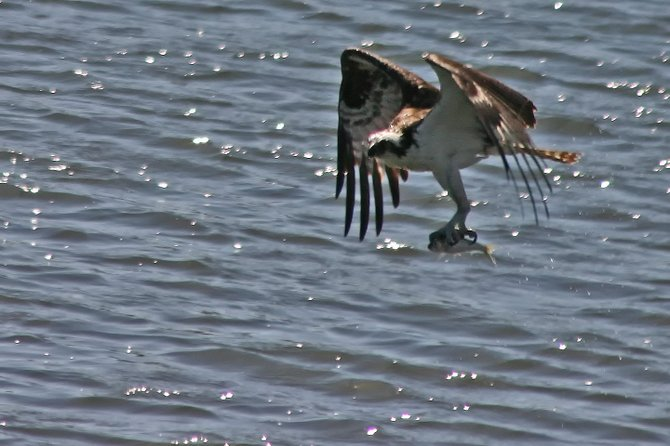 Osprey, bringing home the bacon.