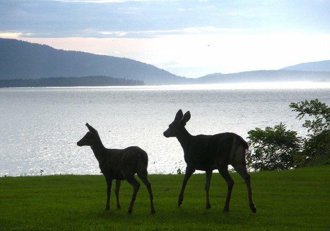 Deer near Squalicum Beach in Bellingham, Washington