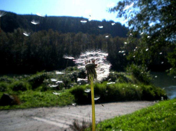 Dandelion and the Skagit River