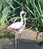 It's feeding time for this flamingo at the San Diego Wild Animal Park.