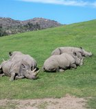 African rhinos taking a nap during our Photo Safari excursion at the Wild Animal Park.