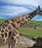 A male giraffe gets up close and personal during our Photo.