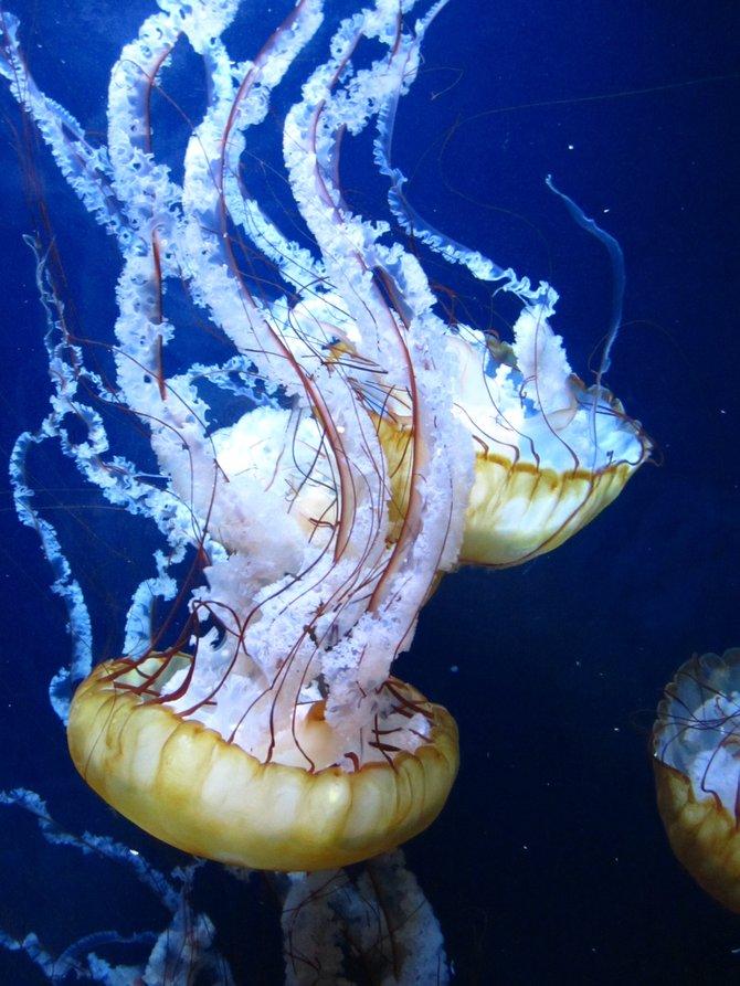 Underwater Jelly-Fish.