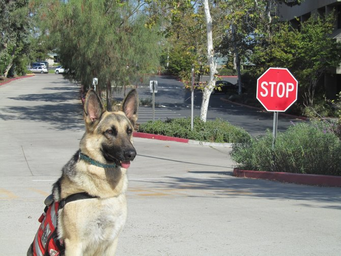 This is a member of the Keanry Mesa training  search and rescue k/9 unit.