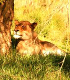 A beautiful day to enjoy and bask in the afternoon glow! Lioness San Diego Wild Animal Park.