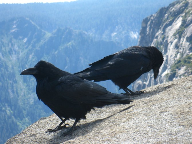 These two lovelies were at the top of the hike called Nevada Falls. They didn't leave the whole time we were there. The Raven is one of my favorite birds. :)