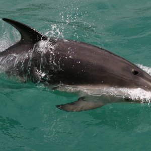 The Dusky is one of the smallest dolphins in the world. Off the south island of New Zealand, the dolphins will swim around people.  If they are in the mood.