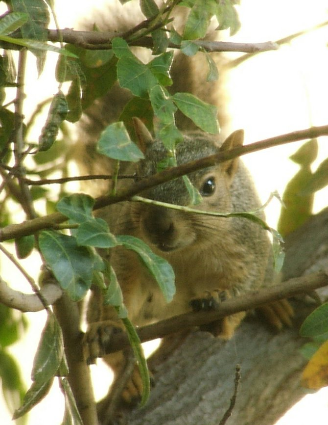 Squirrel outside my window on tree. Since this photo was taken, the neighboring land owner trespassed and attempted to remove these trees! After maliciously injuring the trees, Morgan only halted removal of them after heavy threat of legal action.