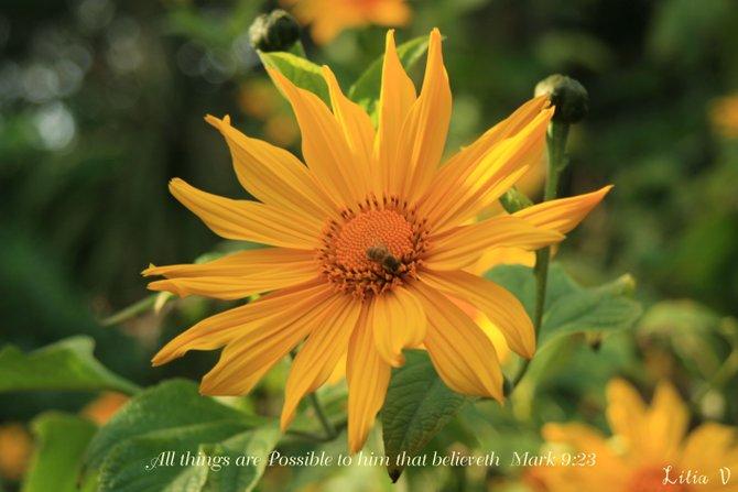 Mexican Sunflower at the Quail Botanical Gardens in Encinitas, Ca