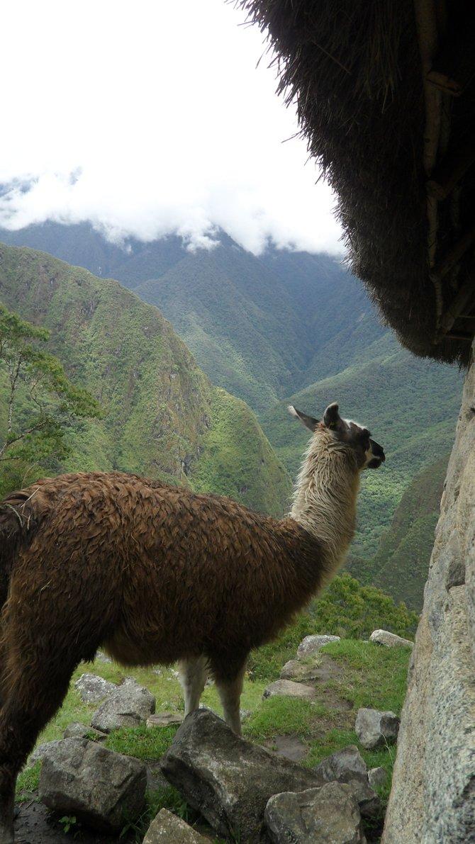 A llama blocking the trail in Peru... wow.