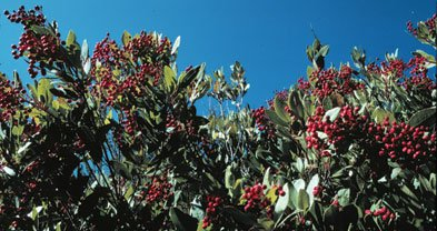 Toyon, a Santa Monica Mountains favorite.