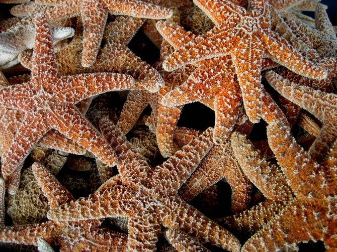 Starfish for sale on Newport Avenue in OB