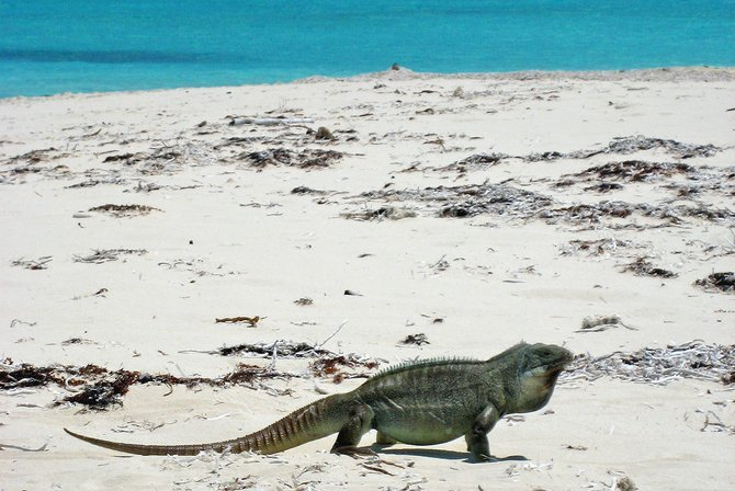 An iguana strolls a secluded beach on this island paradise.