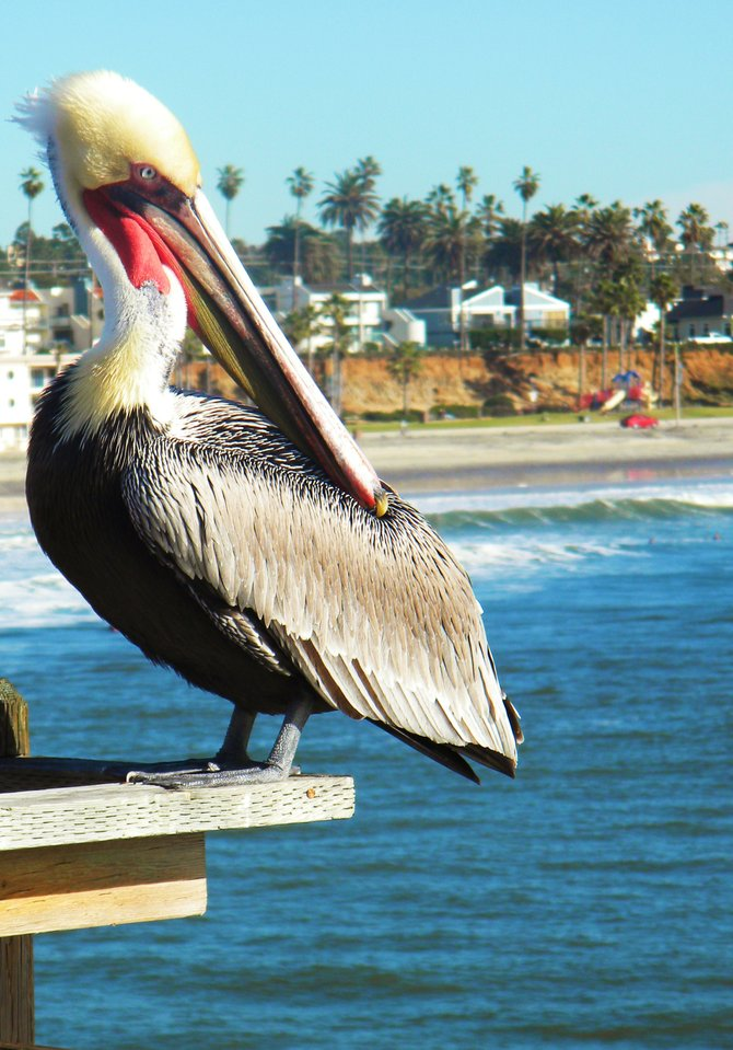 Famous Pelicans that attract tourists and they like the attention it seems like.