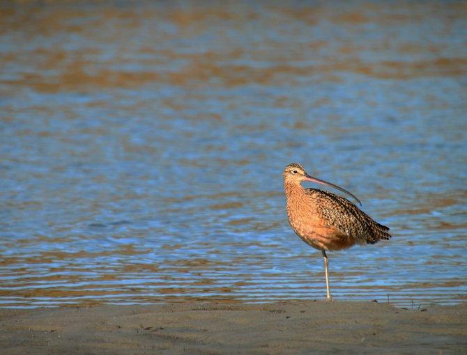 Sea Bird at OB, Dog Beach.