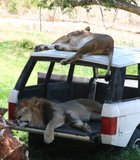 Nap time at the San Diego Wild Animal Park