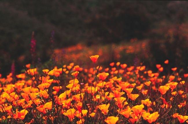Poppies near Lake Jennings