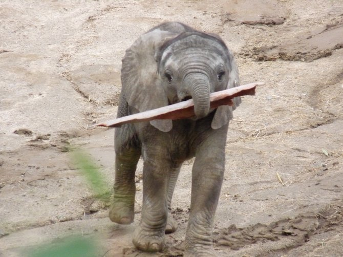 This is one of the new cuties at the San Diego Wild Animal Park a.k.a Safari Park.This baby picked up the tree bark, and brought it over to one of it's older elephant mates. So sweet!