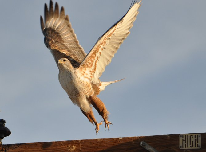One of many hawks in the Imperial Valley is seen here taking flight after spotting the photographer.