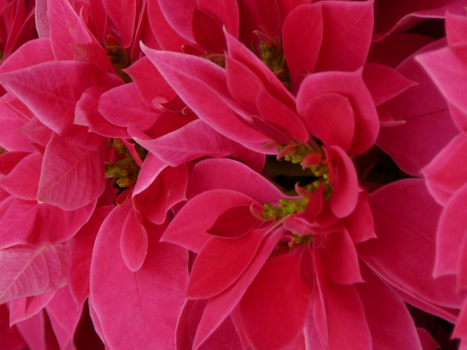 Poinsettias at The Carlsbad Flower Fields.