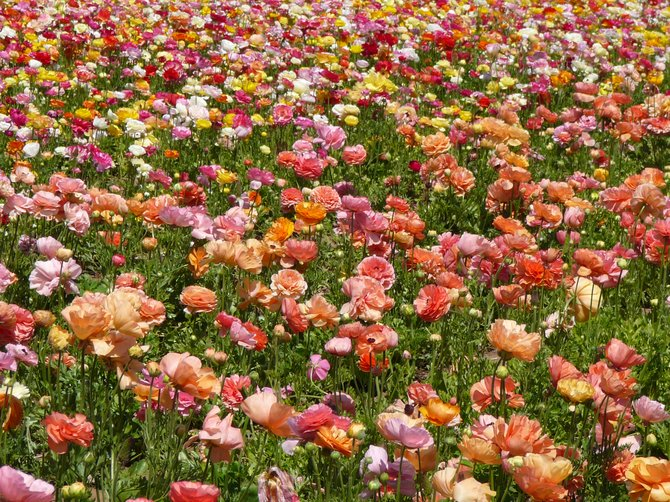 Field of Ranunculus at The Carlsbad Flower Fields.