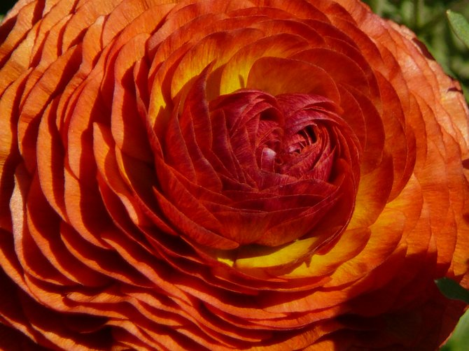 Ranunculus at The Carlsbad Flower Fields.