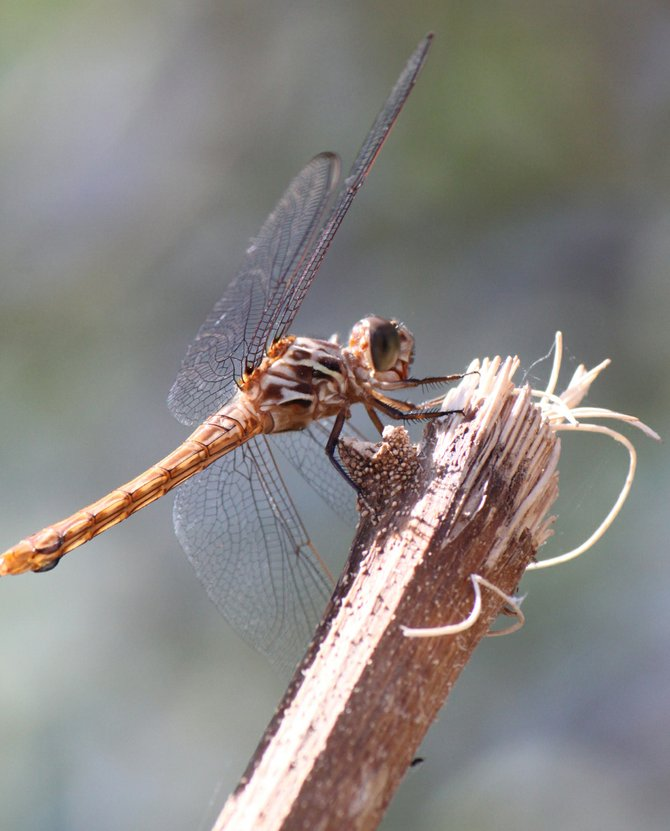 A red lipped dragonfly decided to stop by my garden in Holtville, CA.