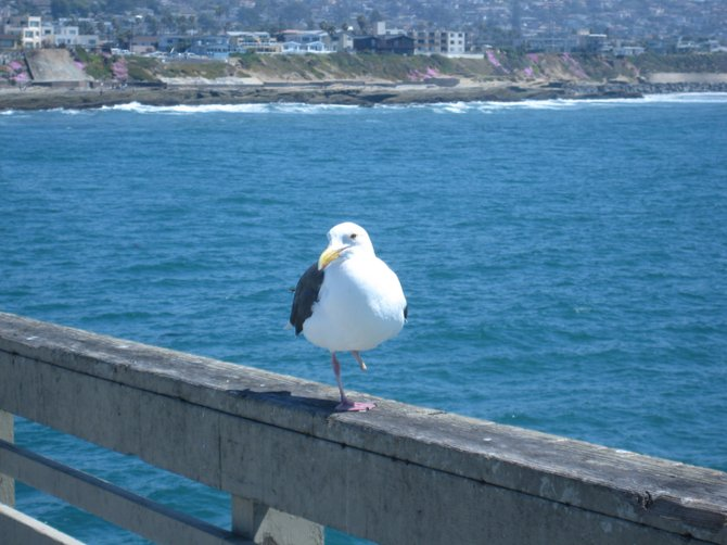 A one legged bird on the Ocean Beach Pier.
