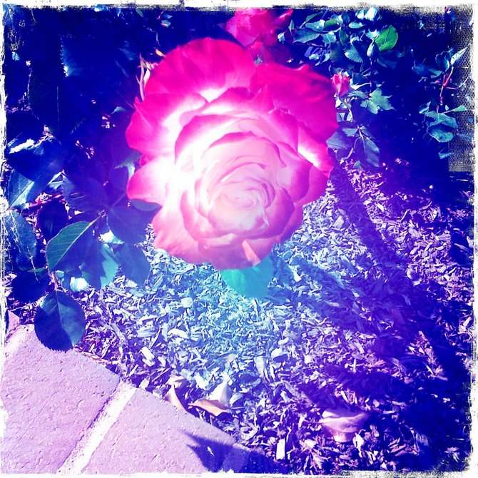 A stroll through the Balboa Park Rose Garden!