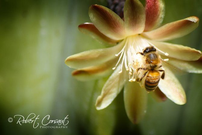A bumble bee pauses in search of food at Balboa Park botanical Gardens.