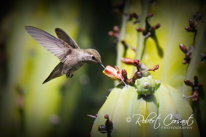 I took this photo at Balboa Park Botanical Garden.  This humming bird was a gracious model for my camera!