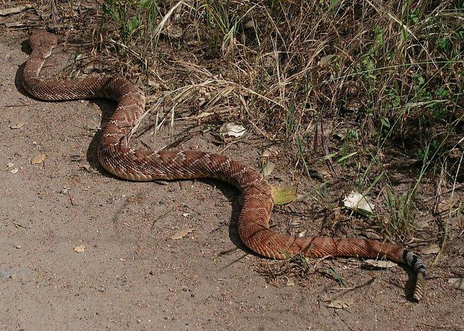 Red Diamondback Rattlesnake (Crotus ruber), Blue Sky Ecological Reserve, Poway, May 7th, 2011.