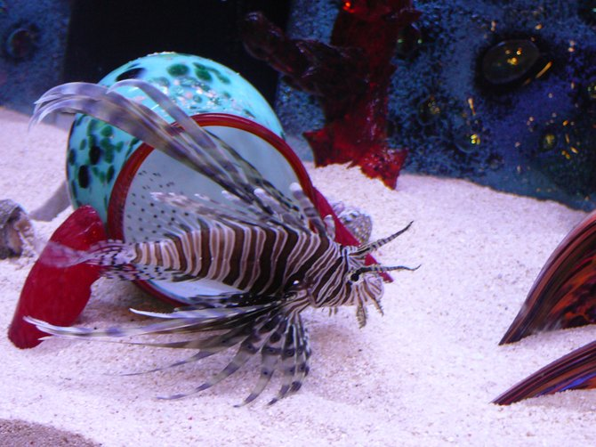 Lionfish at The Chula Vista Nature Center.