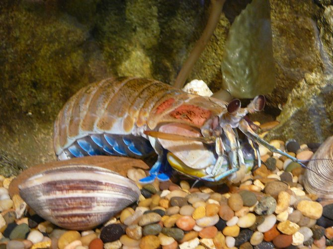 Mantis Shrimp at The Chula Vista Nature Center.