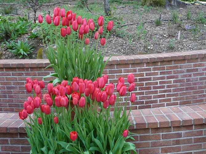 Tulips in Filoli Gardens